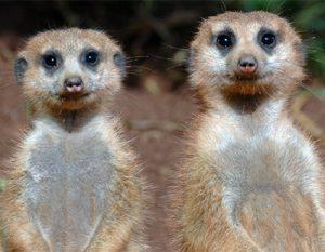 La vie des suricates