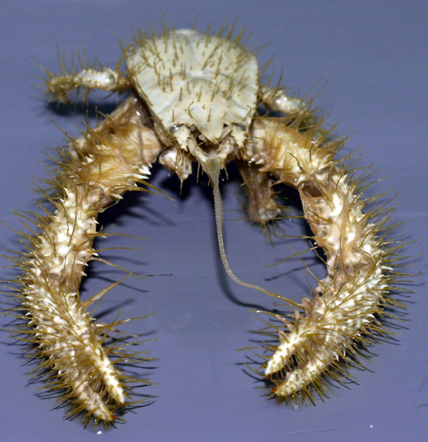 Andrew-Thurber-Oregon-State-University_Yeti_crab.jpg