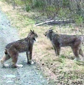 Discussion entre lynx