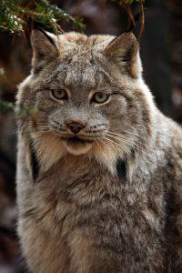 Tout sur le lynx du Canada en vidéo !