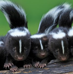Des petites moufettes bien curieuses !