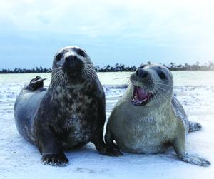 Des phoques chanteurs