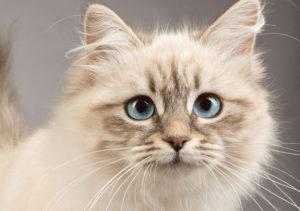 À quoi servent les vibrisses du chat ?