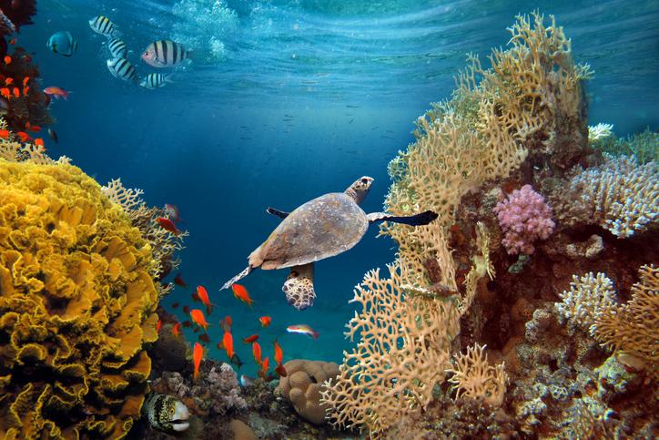Tortue nageant dans un récif corallien.