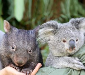 Vidéo: Un koala ami avec un wombat