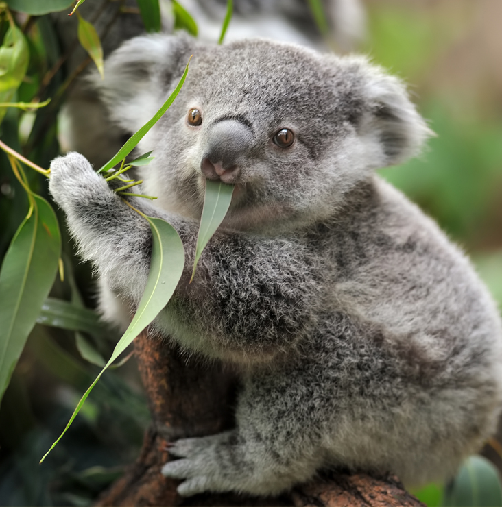 Koala mangeant une feuille.