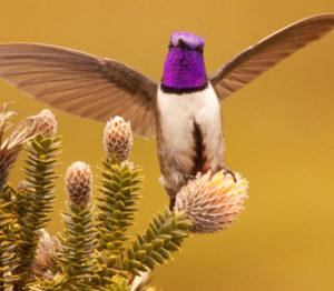 Record d'oiseau : le chant le plus aigu