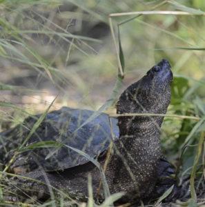 La plus grosse tortue du Canada en vidéo