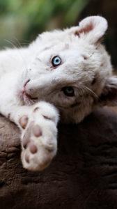 Le tigre blanc révèle ses couleurs
