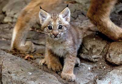 Le bébé lynx du Biodôme
