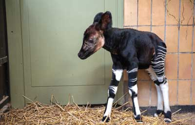 Adorable petit Okapi !
