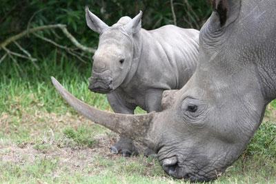 Un nouveau bébé rhino au Zoo de Dubbo !