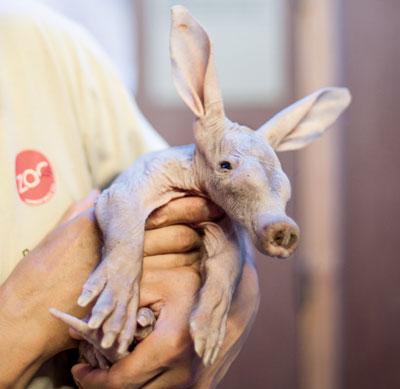 Un oryctérope est né au zoo d'Anvers