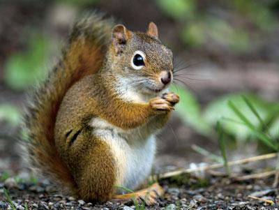 Sur les traces de l'écureuil roux